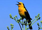 Saffron-cowled Blackbird by Hernan R Goni