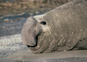 Elephant Seal, Hernan Rodriguez Goni