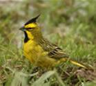 Yellow Cardinal by Hernan R Goni