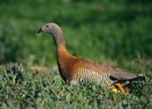 Ashy-headed Goose, Hernan Rodriguez Goni