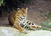 Jaguar, Hernan Rodriguez Goni