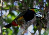 Spot-billed Toucanet by Hernan R Goni