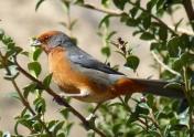 Cochabamba Warbling-Finch by G Pugnali